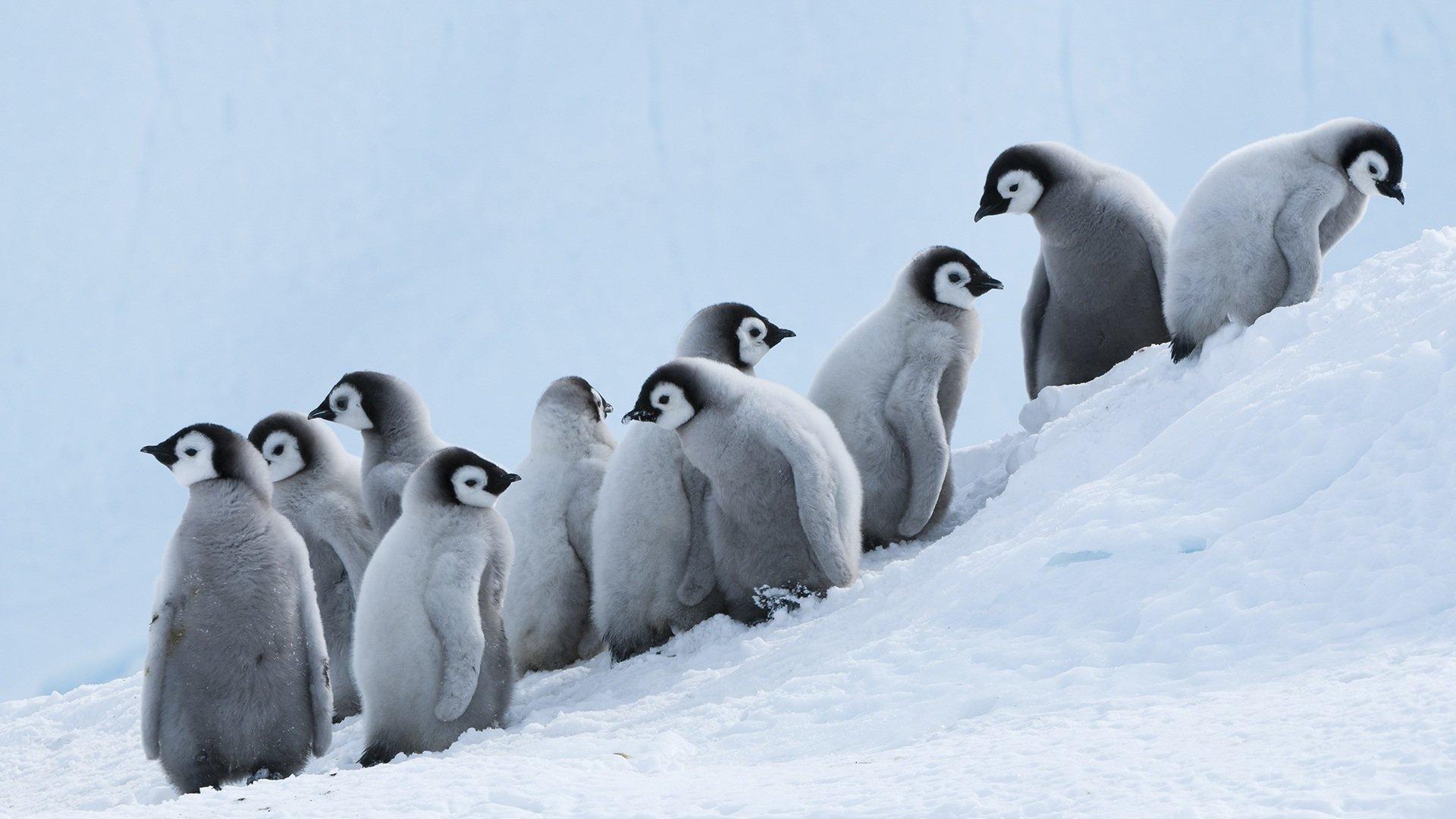 萌宠动物,极地物种,企鹅,雪地