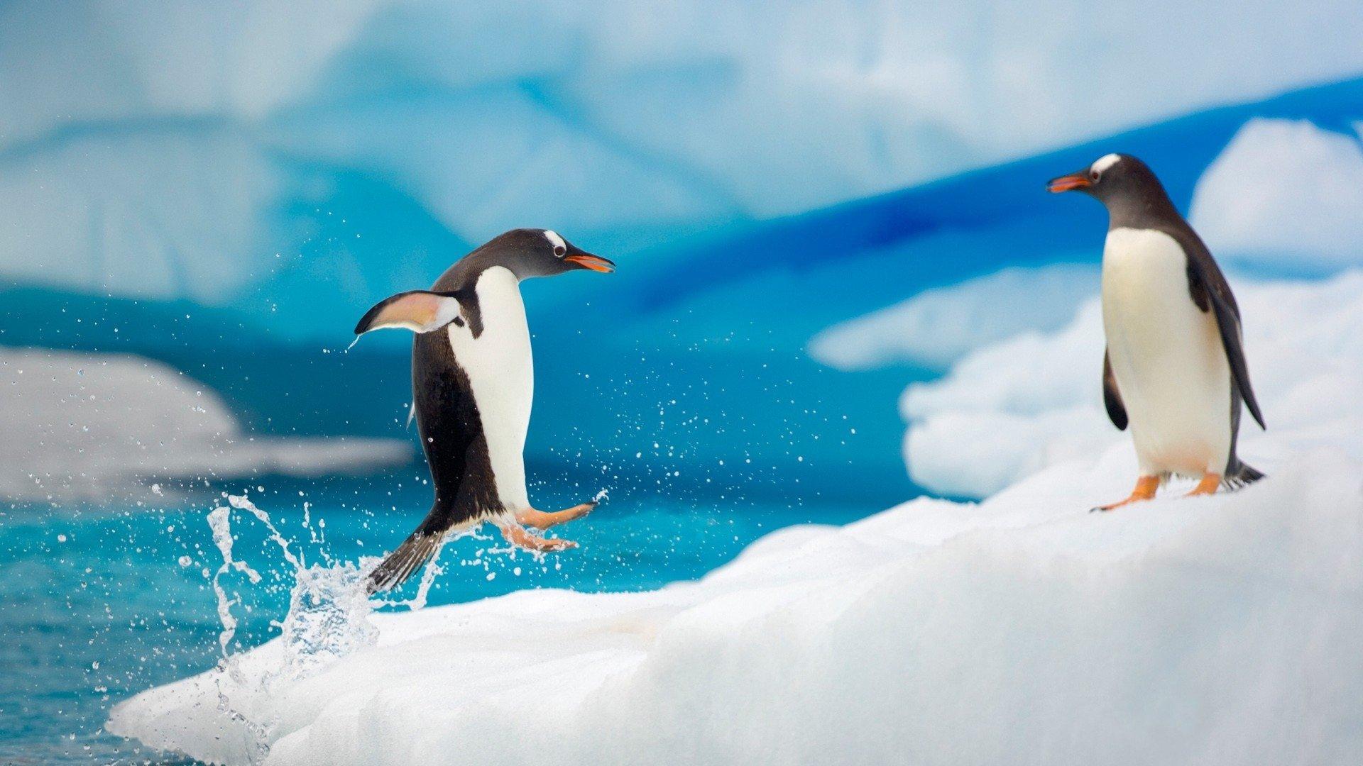 萌宠动物,萌宠,动物,极地物种,企鹅