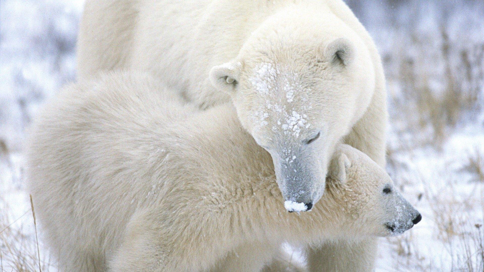 萌宠动物,萌宠,动物,极地物种,北极熊