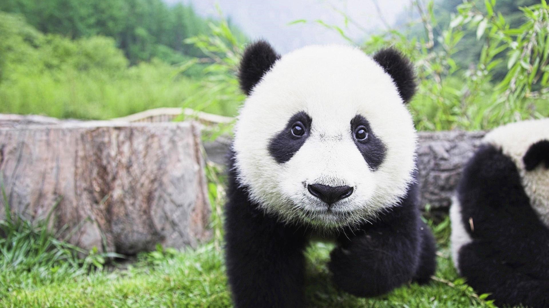 萌宠动物,萌宠,卖萌图,熊猫